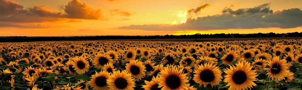 Beautiful-Sunflower-Wallpaper-999x562